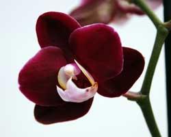 Как правильно ухаживать за орхидеей фаленопсис